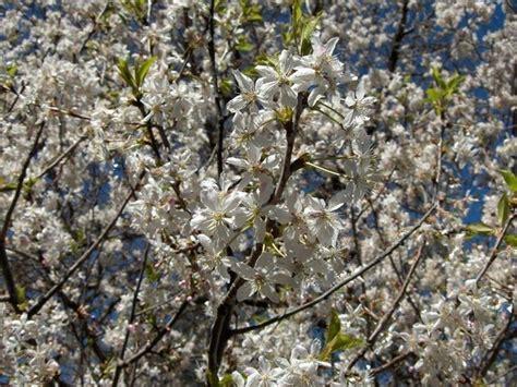 fiori di susino prunus domestica alberi da frutto prunus domestica