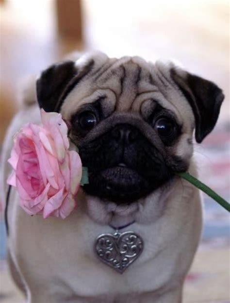 what does a pug look like what does a pug look like images frompo 1
