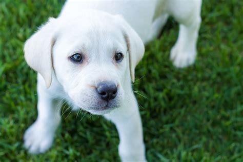 rainbow puppies white lab puppy placed