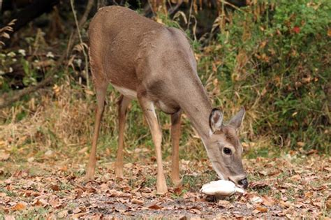 what can i feed deer in my backyard what can i feed the deer in my backyard 28 images the