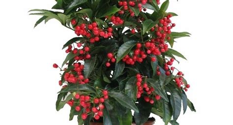 piante invernali da giardino piante da esterno invernali piante da giardino piante