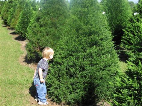 christmas tree growers visit our louisiana christmas