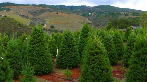 moon mountain christmas tree farm