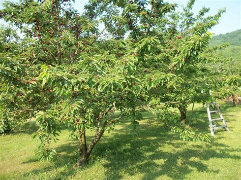 cherry tree no fruit rappahannock cook kitchen gardener 187 on cherries