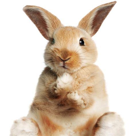 les probl 232 mes de dents chez les lapins lapin sant 233 nac
