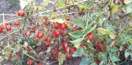 come coltivare i pomodori in vaso come coltivare i pomodori in vaso mini guida di