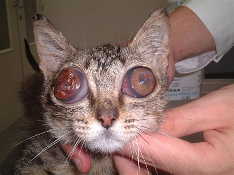 Blind Acne Bilateral Buphtalmos Cat