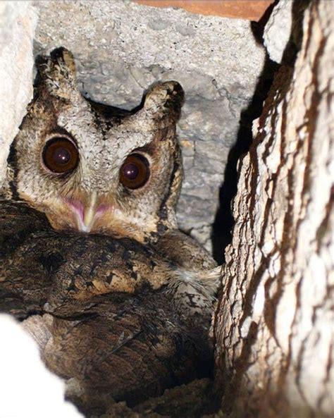 Penghapus Bentuk Burung Owl T1704001 klikunic intip sarang burung hantu nyoookkk d ada induk dan anak anak nya plus telur