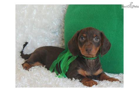 dachshund puppies for sale in st louis dachshund mini puppy for sale near st louis missouri 3b3b0dbf 85e1