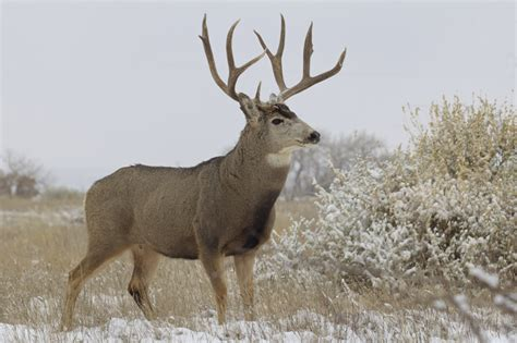 Basic Kitchen Knives mule deer on the rise in montana gohunt