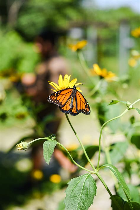 Justice Butterfly monarch butterflies a lesson in sustainability social justice uic today