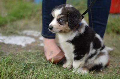 how often should a 6 week puppy eat mini australian shepherd feeding