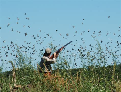 how to a to dove hunt opening day dove
