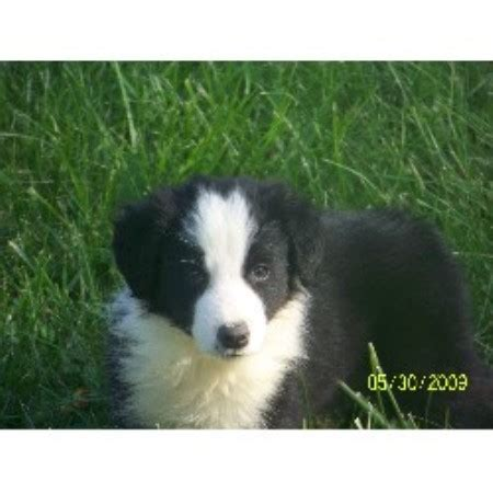 border collie puppies virginia border collies border collie breeder in hillsville virginia breeds picture