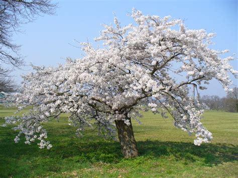 33 cherry tree file flowering cherry tree stoke park geograph org uk 385272 jpg wikimedia commons