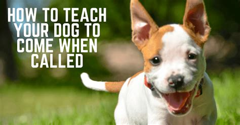 how to teach your to come how to teach your to come when called thatmutt