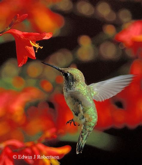 hummingbird on pinterest hummingbirds hummingbird