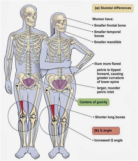 pubis location on men pelvic bone of female female pelvis bones images anatomy
