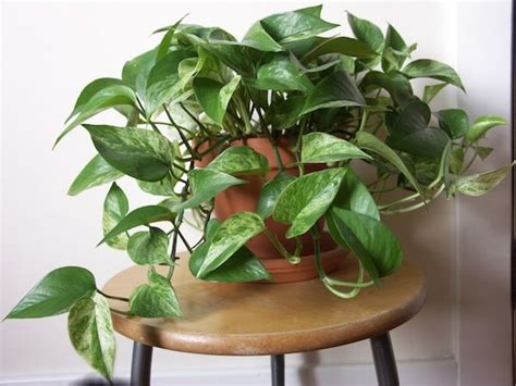easy to grow indoor plants 25 best ideas about easy house plants on pinterest