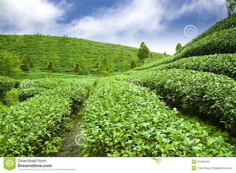 tea garden with cloud background stock photography image
