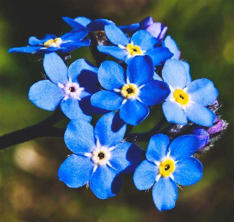 imagenes flores no me olvides 191 d 243 nde vive la nomeolvides