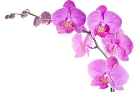 fiore orchidea orchidea val d asta appennino reggiano