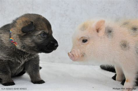 how to a pig pup photos mini piglets and german shepherd puppies play together