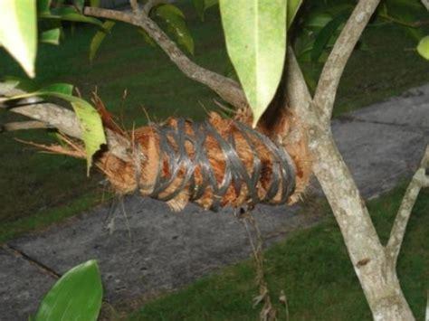 Pisau Okulasi Cangkok cara mencangkok tanaman pohon yang baik dan benar
