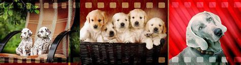 pet stores with dogs near me american club puppies for sale grooming