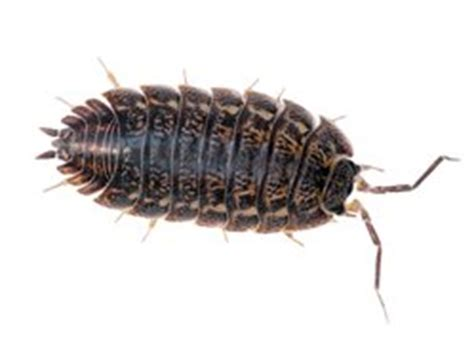 how to get rid of woodlice in my bathroom image gallery woodlice