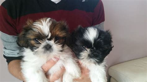 kc registered shih tzu puppies for sale kc registered shih tzu puppies christchurch dorset pets4homes