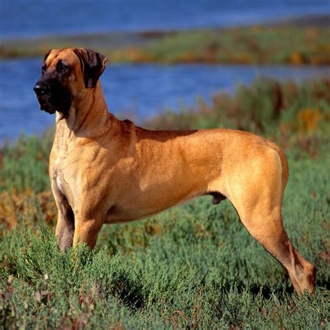 best food for great dane puppy best food for great danes in 2018 us bones