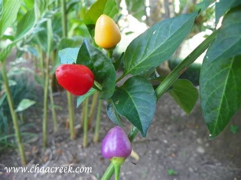 belize medicinal plants christmas peppers