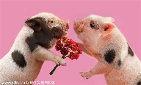 valentines pig s day of animals 1 chinadaily cn