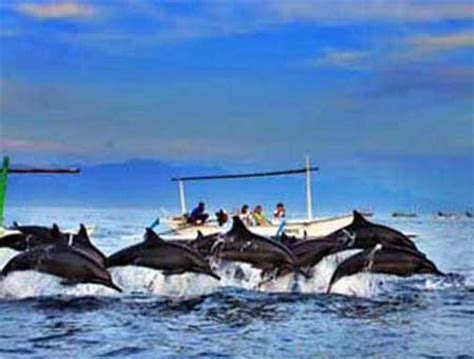 pesona lumba lumba  pantai lovina bali tempat wisata