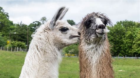 imagenes animales llamas dos llamas animales hd 1366x768 imagenes wallpapers