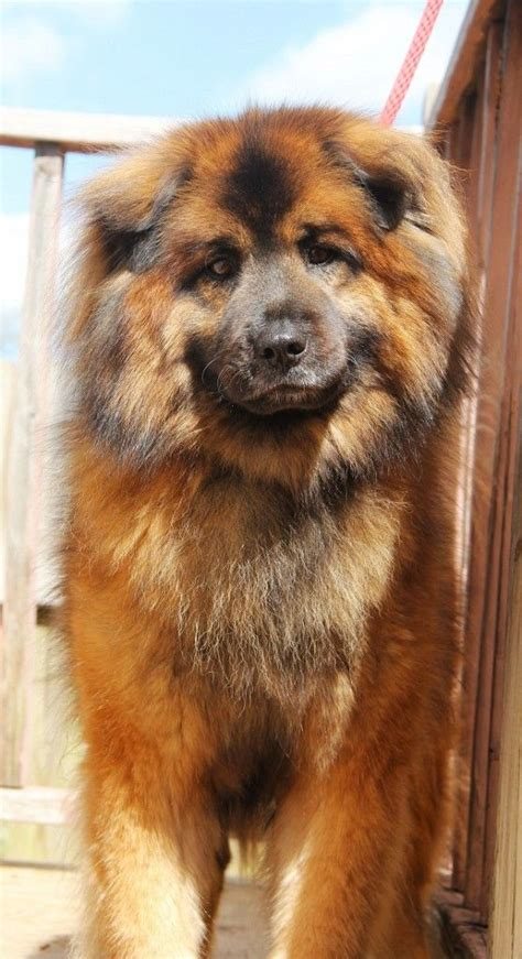 husky chow puppy best 25 chow chow husky mix ideas on chow chow mix husky chow chow and