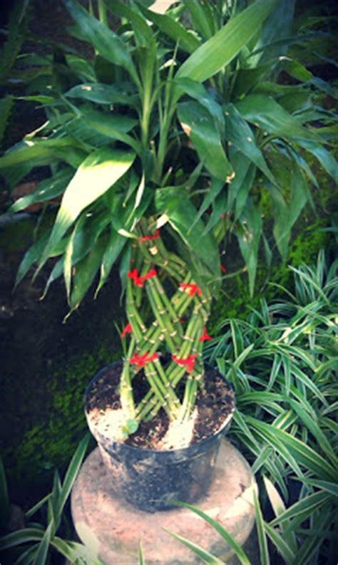 Bibit Anggrek Di Bali jual tanaman hias hidup tanamanbaru