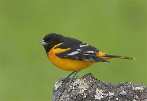 Search Md Maryland Orioles Images