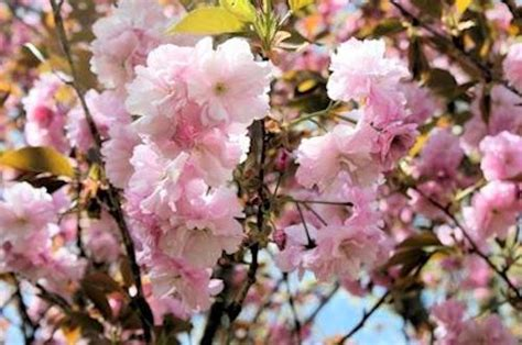 cherry blossom tree zone 5 flowering pink tree garden inspiration