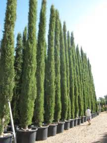cypress trees and conifers