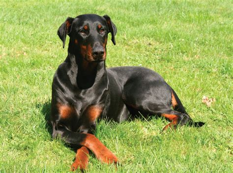 doberman pinscher doberman pinscher breed guide learn about the doberman pinscher