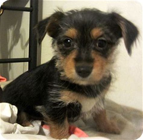 yorkies for sale in detroit yorkie terrier chihuahua mix puppy for adoption in detroit michigan bentley