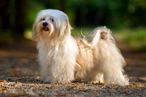 breeds havanese havanese breed photos temperaments and trivia about the breed