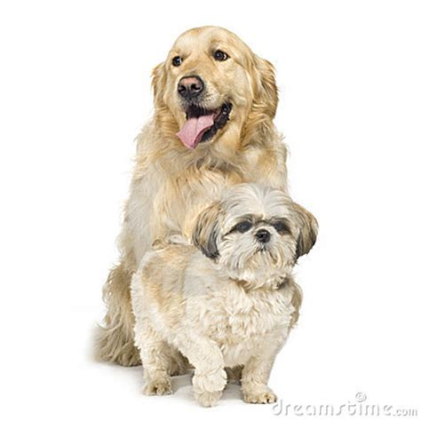 shih tzu and golden retriever golden retriever and shih tzu stock image image 4992011
