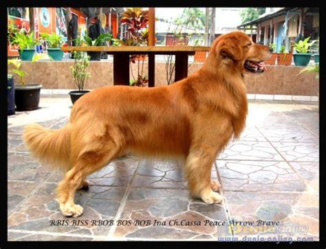 golden retriever indonesia dunia anjing pejantan anjing golden retriever stud service pertama di indonesia