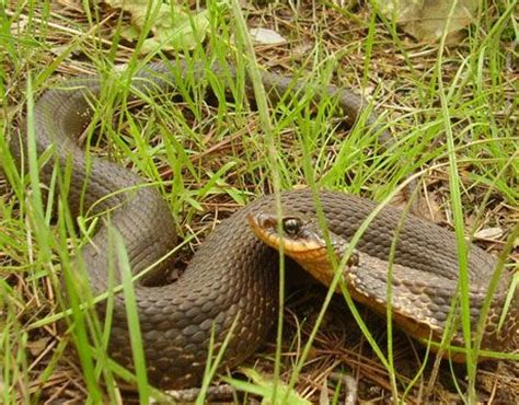 Garden Snake Oklahoma 1000 Images About Snakes On Photo Galleries