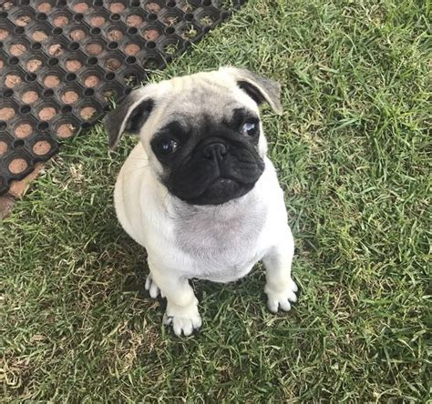 pug shelter near me best 25 pug rescue ideas on pug puppies pugs and pug rescue near me