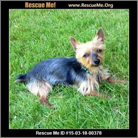 yorkie puppies for adoption in ma animal location