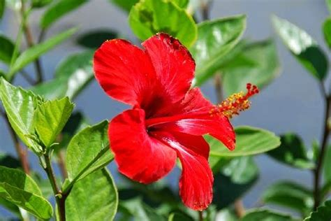Sepatu Bunga Bunyi pengertian tumbuhan dikotil ciri jenis dan contoh